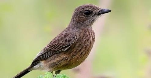 Ciri Ciri Fisik Burung Decu Betina Yang Akurat