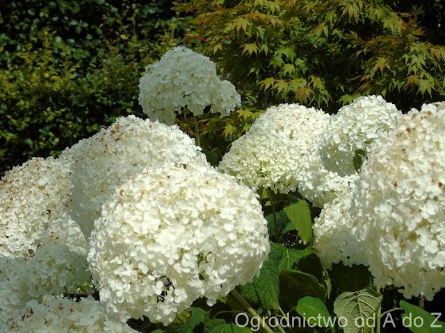 Hortensja Krzewiasta Annabelle Hydrangea Arborescens Anabelle