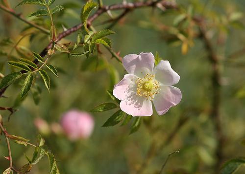 hoa hồng tầm xuân
