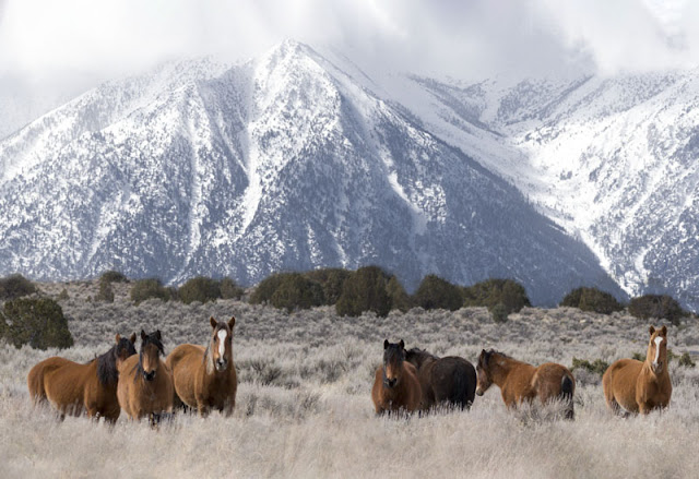 Visiting the wild horses of Carson Valley