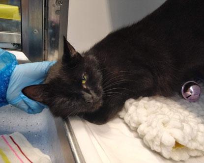 black cat Annie