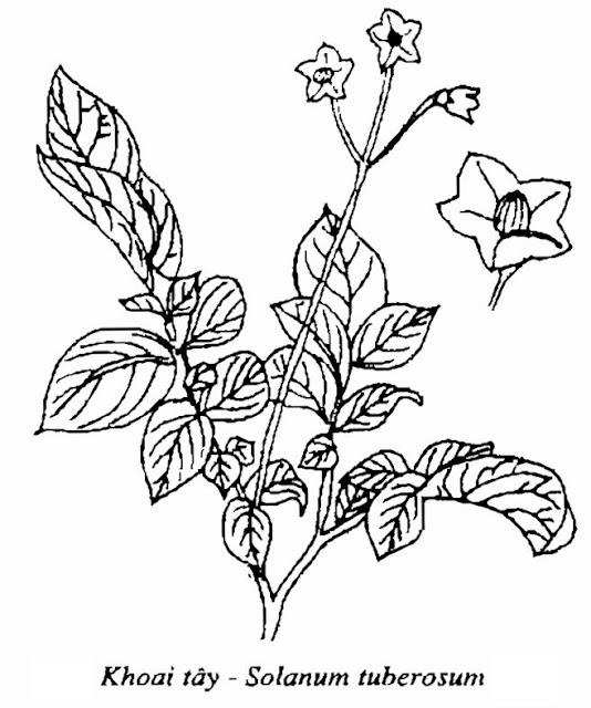 Hình vẽ cây Khoai Tây - Solanum tuberosum - Nguyên liệu làm thuốc Chữa Tê Thấp và Đau Nhức