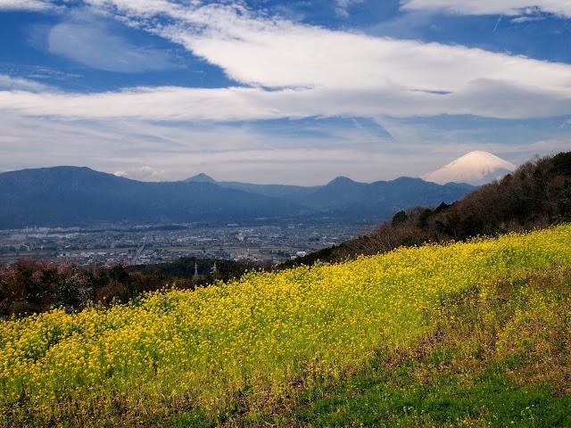 篠窪 富士見塚 富士山 菜の花