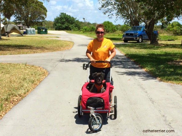Oz the Terrier in his HoundAbout II Bike Trailer converted to Stroller  by Solvit Products