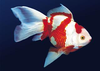 Japon balığının anavatanı