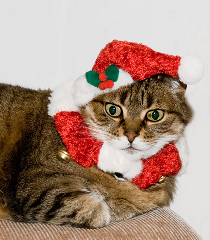 A rather large tabby cat wearing a santa hat and collar, and looking decidedly unimpressed.
