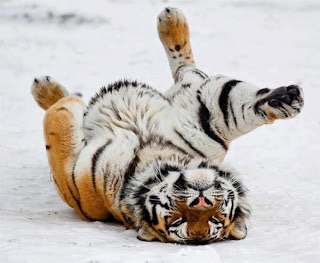 Tigre de Bengala marometas
