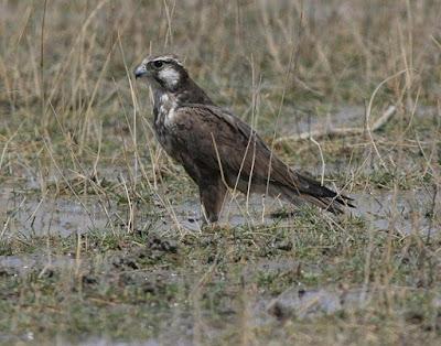 Laggar Falcon