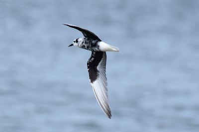 White-winged Black Tern, Medmerry, 16.8.2017