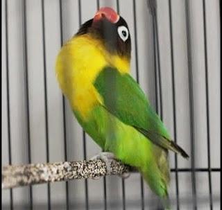 Ciri Fisik Lovebird Calon Juara Ngekek Panjang