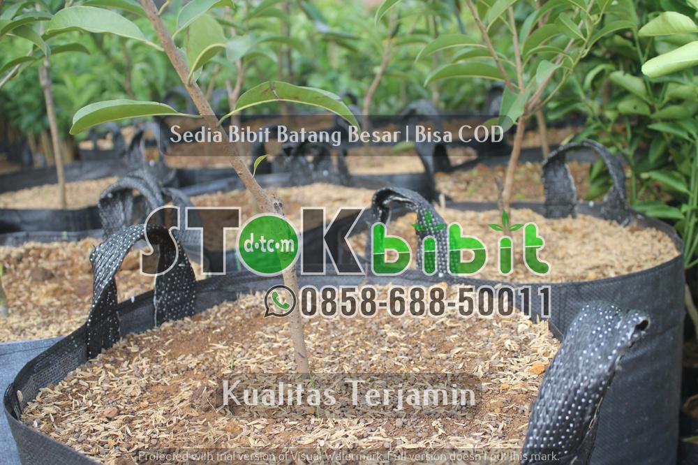 Bibit Jeruk Dekopon Jeruk Ciwidey Bandung, Jeruk Dn Sabilulungan bersertifikat      Berkwalitas     Grosir