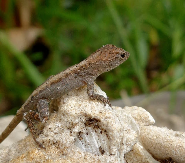 Brown Anole Lizard on Rocks