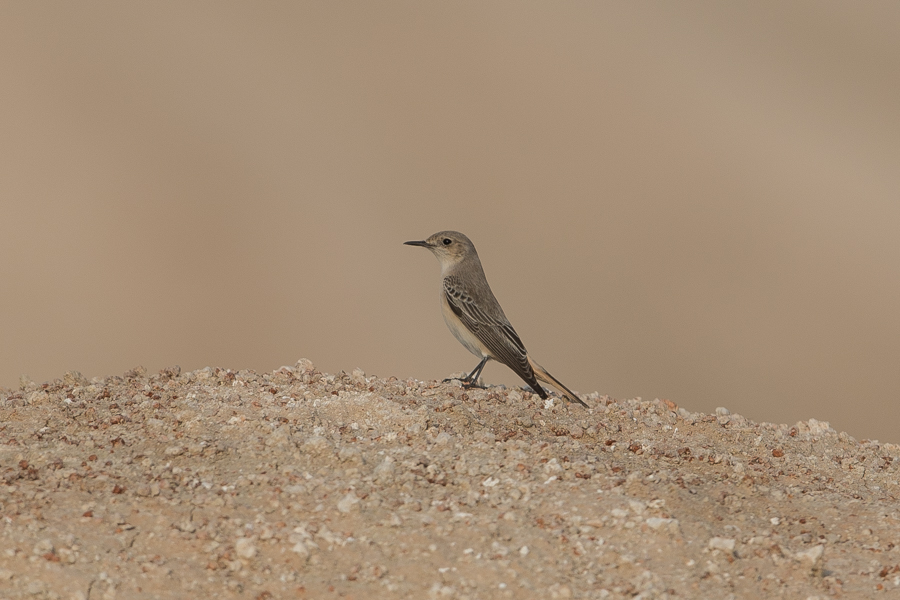 Female Hooded Wheatear – Jebal Hamrah
