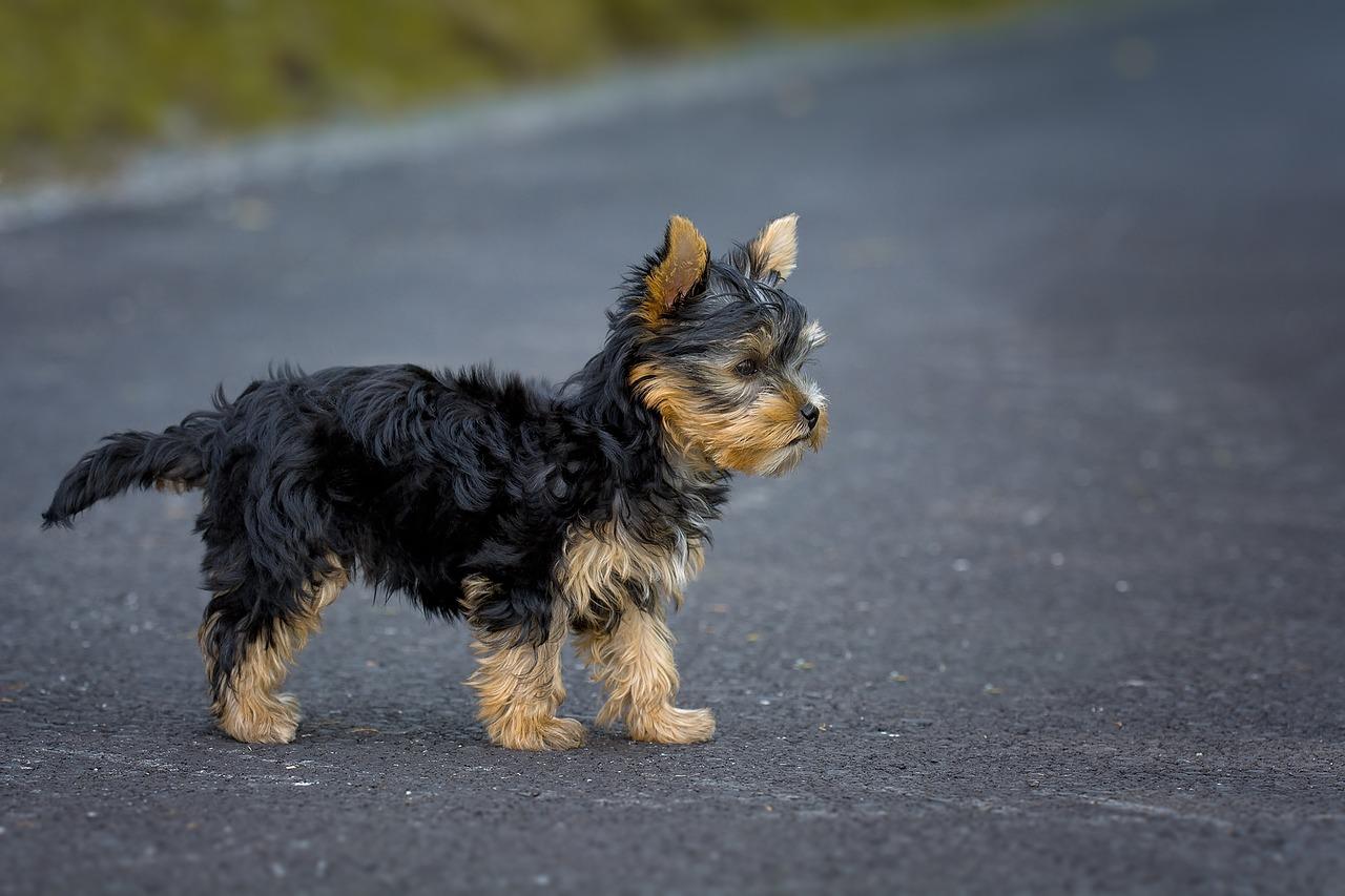 Find a Reputed Teacup Yorkie Breeder ~ Teacup Yorkie terrier