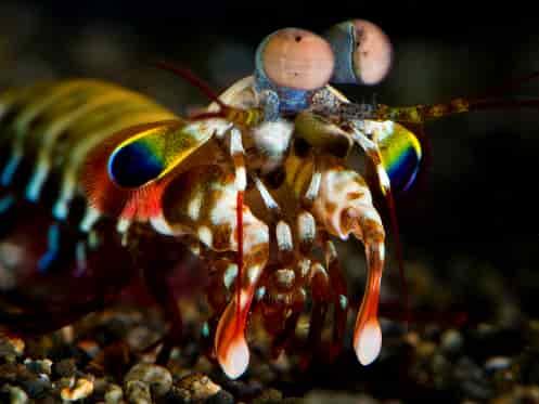 Pukulan Udang Mantis setara kekuatan peluru kaliber 22