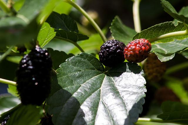 शहतूत के फायदे और नुकसान | mulberry tree