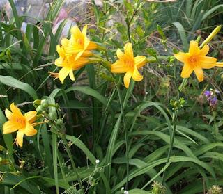 flores HEMEROCALLIS