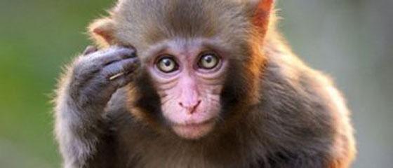 Download 62 Koleksi Gambar Monyet Lucu Bikin Ngakak Terlucu