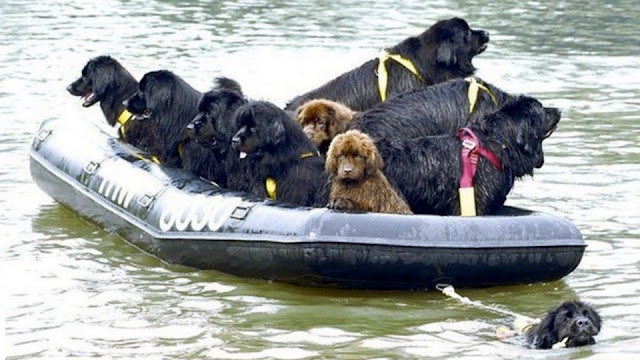 كلب نيوفاوندلاند