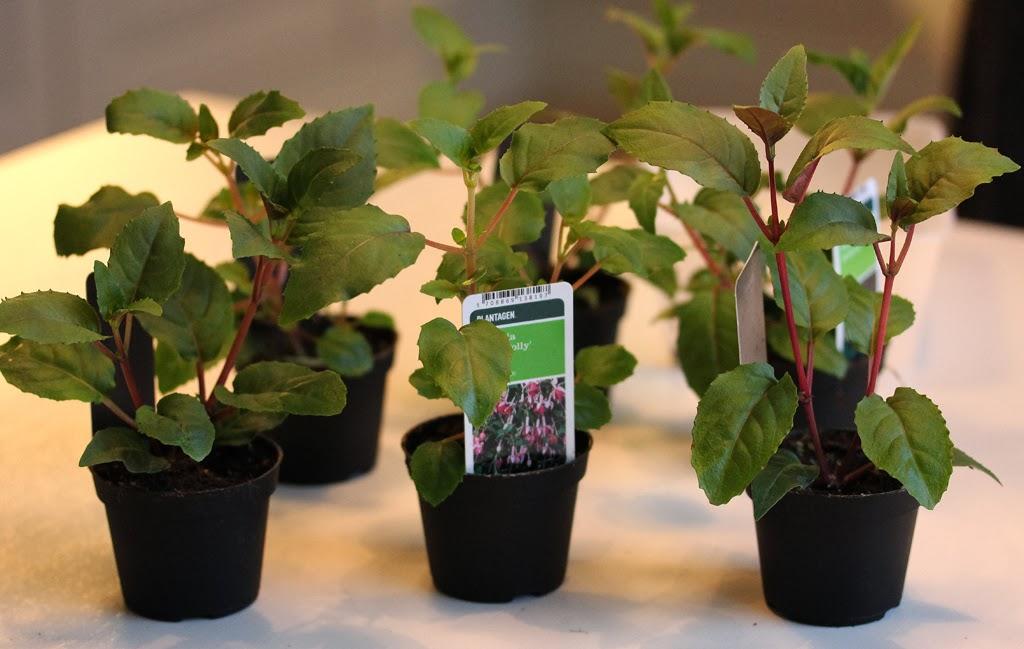Fuchsia stiklinger