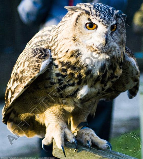 Eagle owl about to launch and take off