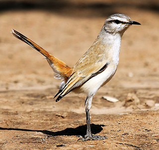 Suara burung robin kalahari