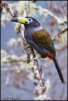 Hooded mountain Toucan