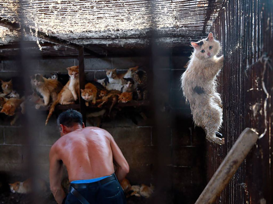 Attitudes towards dog and cat consumption in China are changing, but some of these traditions have deep roots - Chinese Woman Travels 1,500 Miles And Pays $1,100 To Save 100 Dogs From Chinese Dog-Eating Festival