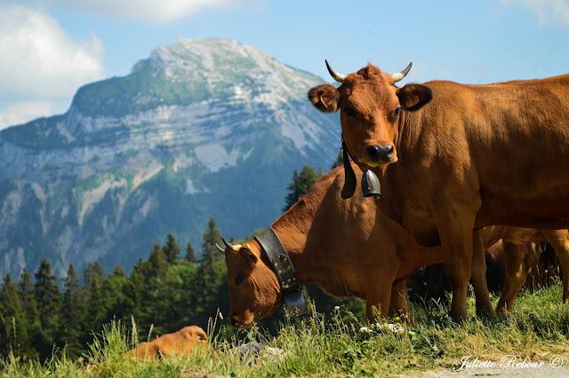 Vaches tarines dans le Parc Naturel Régional de Chartreuse