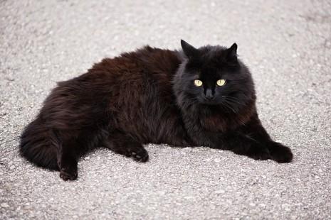تفسير حلم مشاهدة القط الاسود في المنام موسوعة المعرفة الشاملة