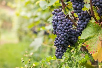 Il Pinot Nero, conosciamolo insieme