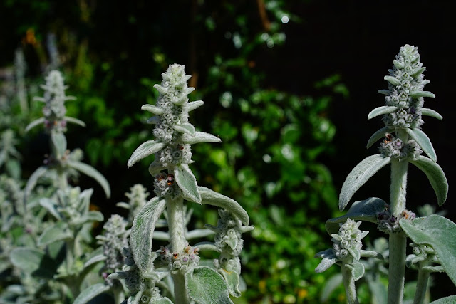 How to Split and replant Stachys byzantina Lambs ear-life between the flowers