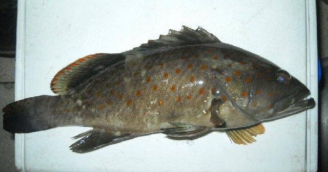 Gambar Ikan Kerapu