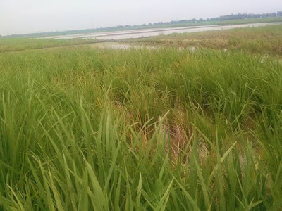 Puluhan Hektar Sawah di Talagasati Mati Terserang Hama Wereng, Petani 'stres'
