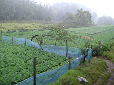 Ambewela Vegetable garden