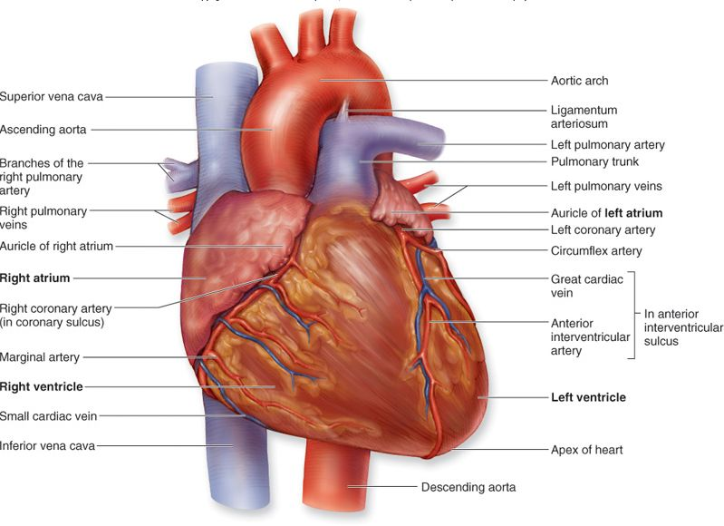 interior heart diagram autometer temp gauge wiring exterior the great installation of biology diagrams images pictures human anatomy and physiology rh blogspot com front back external