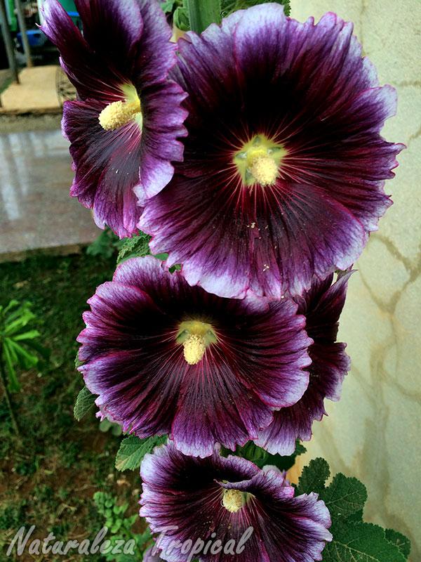 Flores de la Malva Real, Alcea rosea