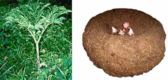 Microwave Cake Recipes In Malayalam: Cooking In Cochin: Amorphophallus Campanulatus