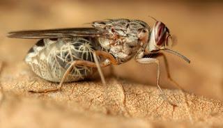 Tse Tse Insect