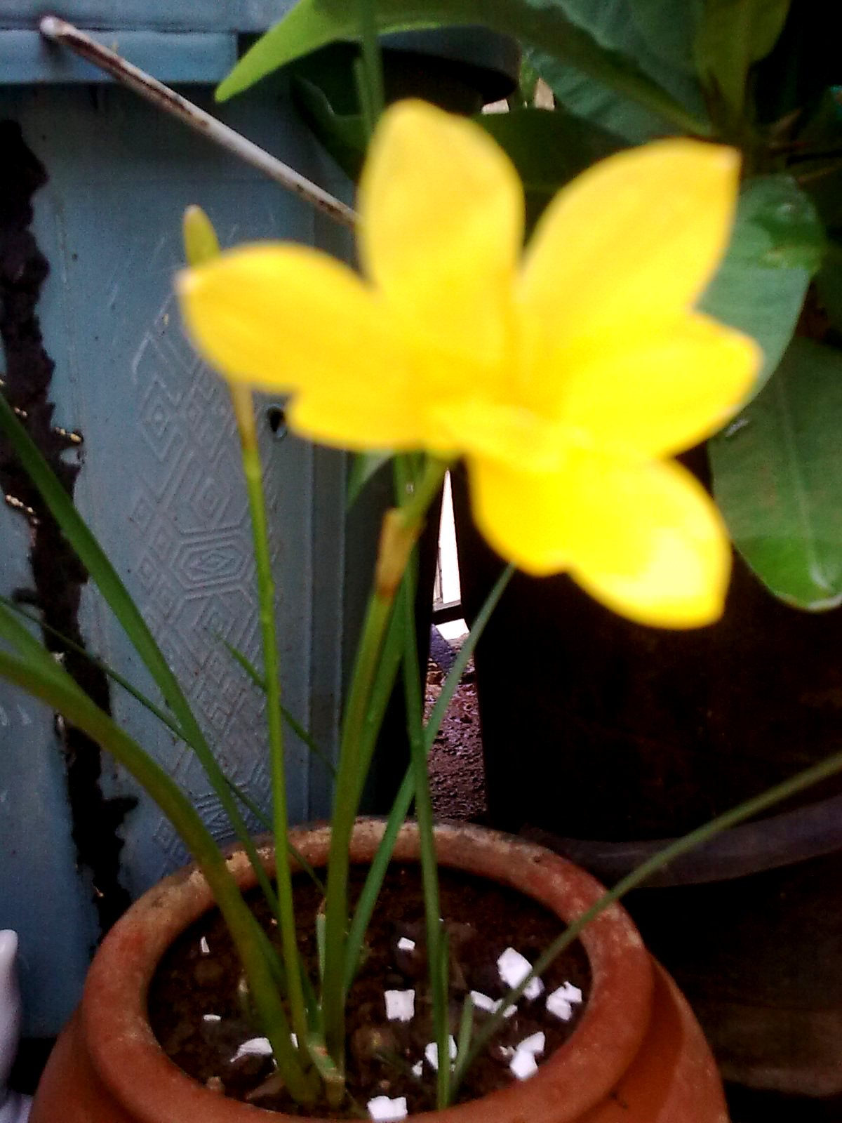 Garden care simplified the yellow day lillies flower yellow day lily flower in pot mightylinksfo