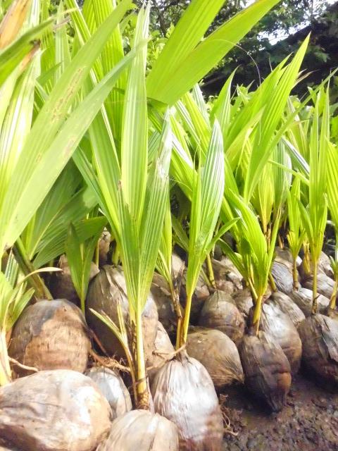 jual bibit kelapa gading   budidaya kelapa gading   cara bertanam kelapa gading   pohon kelapa gading