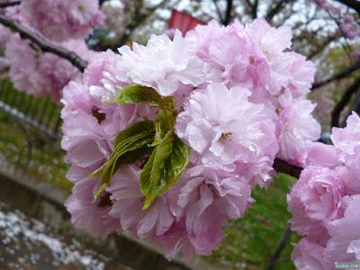 雨に濡れる八重桜