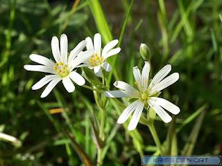 Stellaire holostée - Stellaria holostea