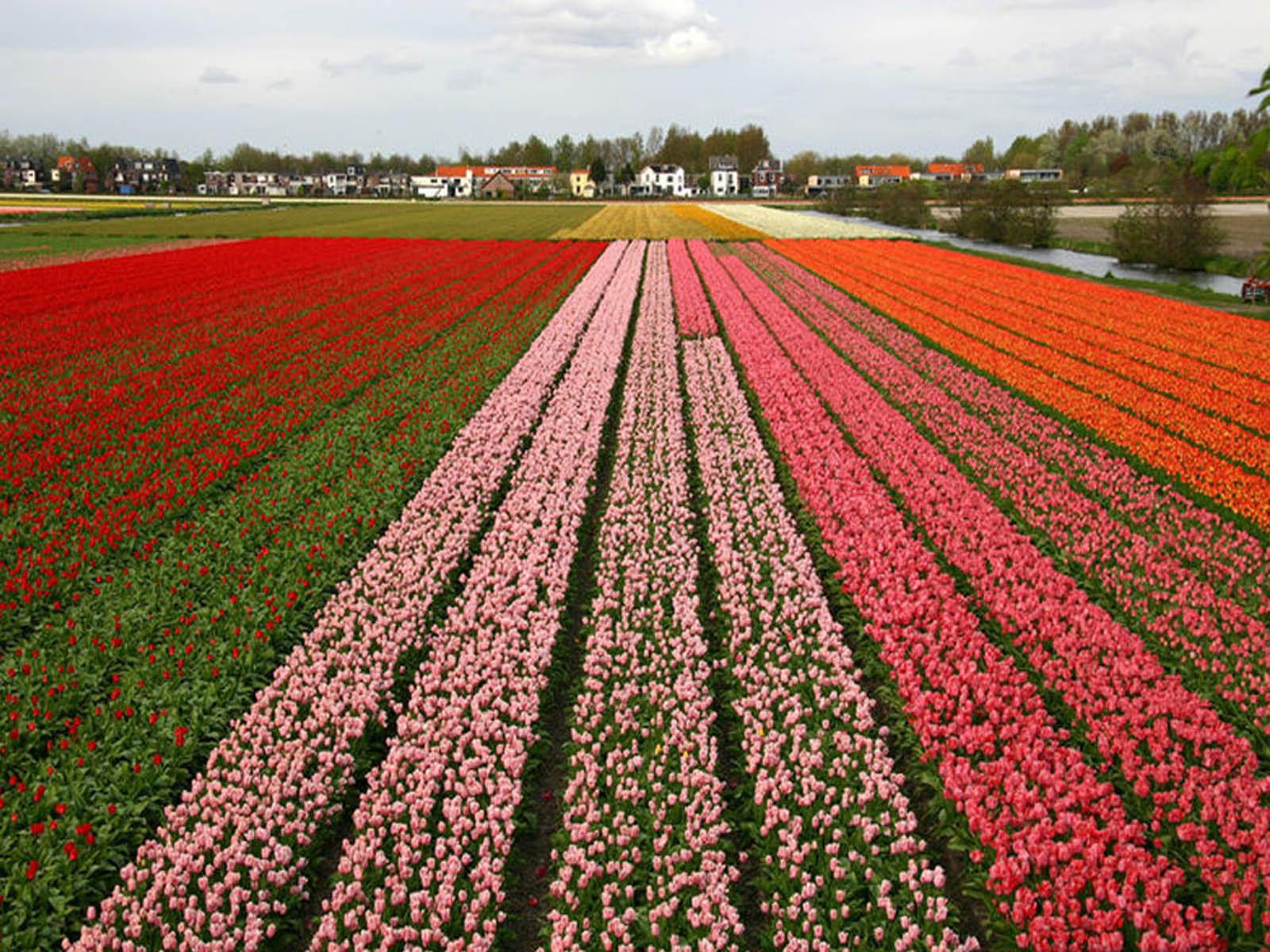 Wallpapers netherlands flower fields for Tulipani italiani