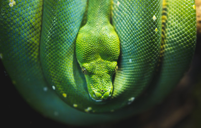 Green Reptile Snake  HD Wallpaper