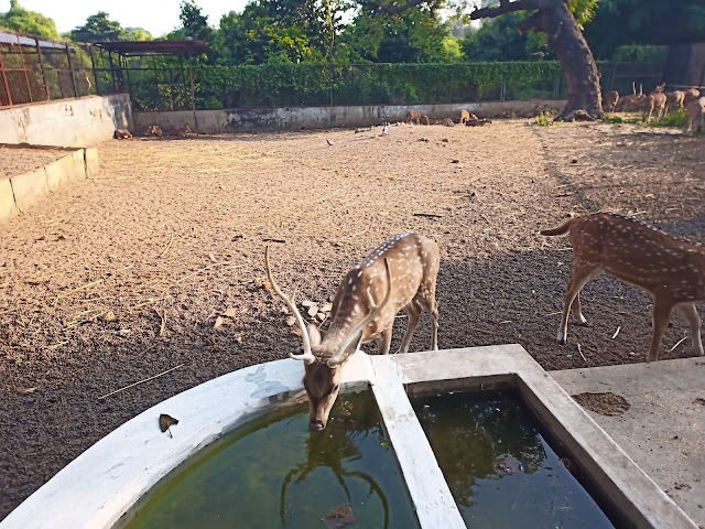 One white spotted deer drinking from a water trough and another deer walking out of the frame