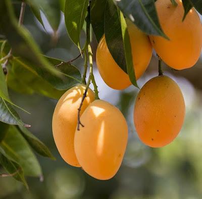 4 Tips Dan Cara Mudah Merawat Pohon Manga Di Halaman Rumah Agar Cepat Berbuah dan Banyak sehat dan rujak mangga
