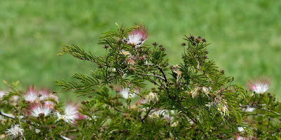 plantas nativas Flor de seda Calliandra parvifolia