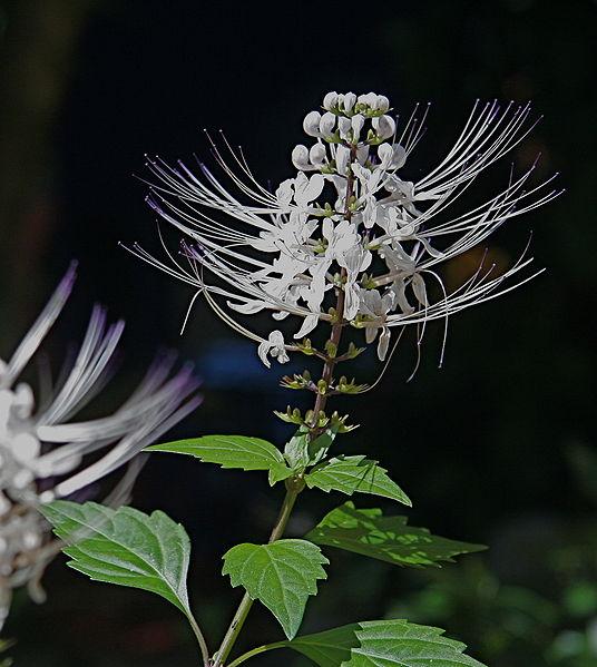 Tanaman Sayuran, Tanaman Obat Herbal, macam-macam tanaman obat keluarga, Membudidayakan tanaman herbal, Jenis dan manfaat tanaman-tanaman herbal, manfaat daun kumis kucing, daun kumis kucing