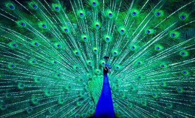 राष्ट्रीय पक्षी मयूर पीकॉक